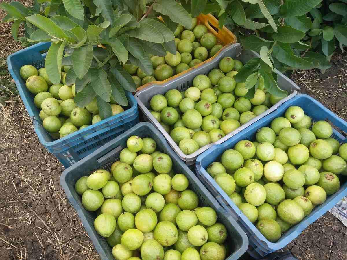 Guava Harvesting.