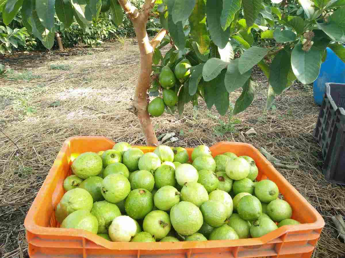 A guide to organic Guava cultivation.