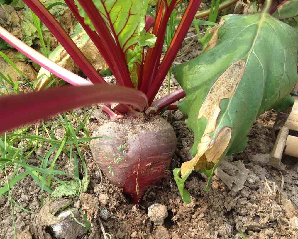Planting Guide to Growing Organic Beetroot