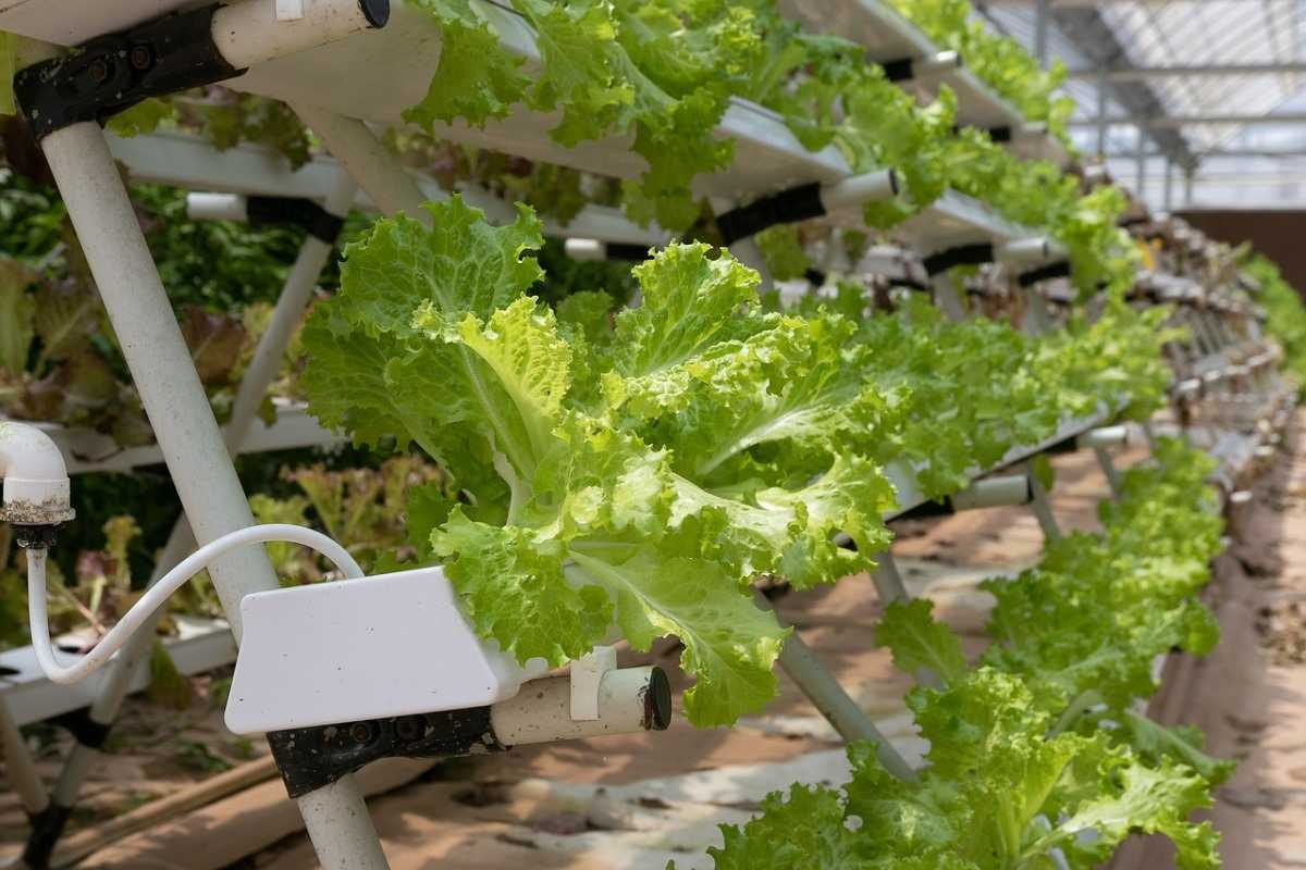 Growing Lettuce Hydroponically (Image credit: pixabay)